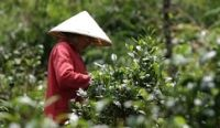 Laotian coffee prepares to obtain geographical indication