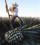 Tequila.Campo.1web